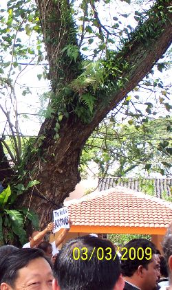 the-perak-historic-tree